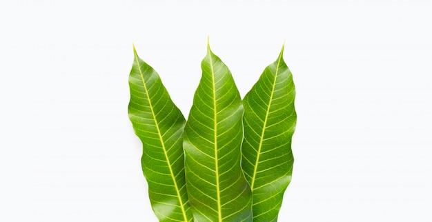 Mango leaves on white.