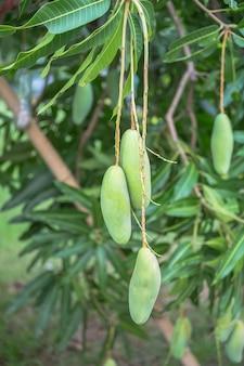 Mango, mango tree  use as the illustrations