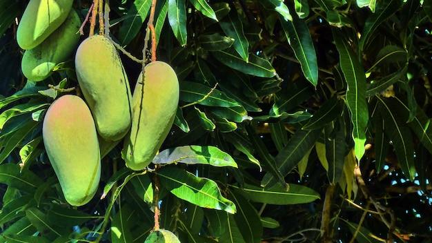 木の上のマンゴー。パンガン島。タイ