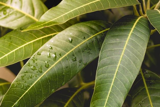 Mango tree leaves in macro photography