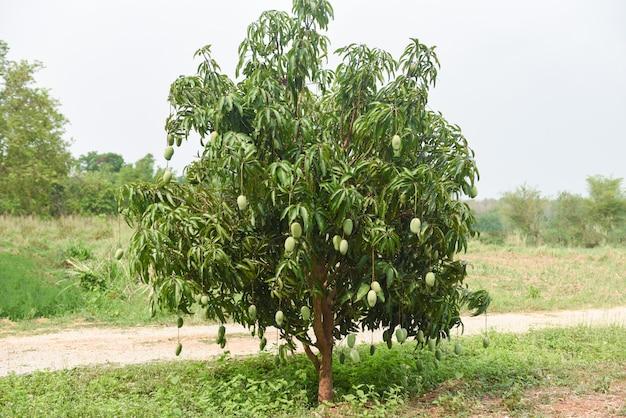 Mango tree in nature