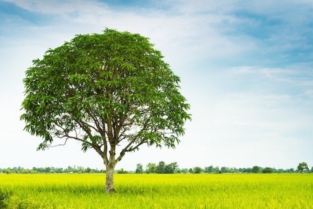 Mango tree in rice farm