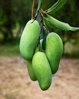 Mangoes on a mango tree.