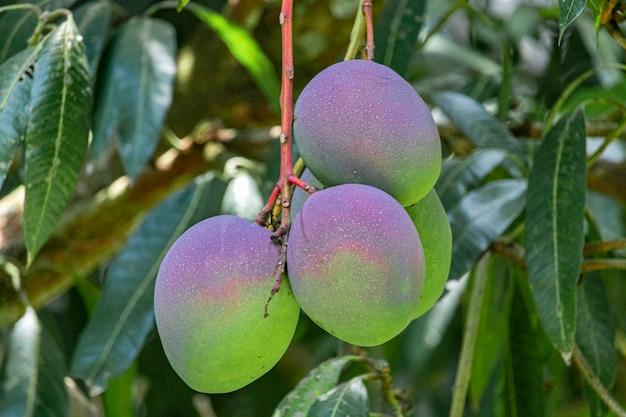Mangoes on the tree