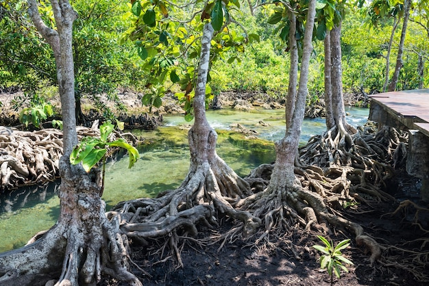 Mangrove and banyan trees along canal at tha pom khlong song nam in krabi, thailand. famous holiday maker or travel destination in tropical country, siam.
