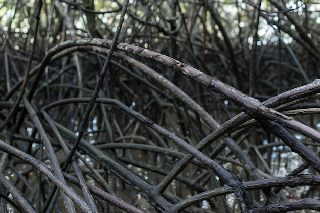 Mangrove forest has mangrove tree which it is a mediumlarge size of tree and can grow