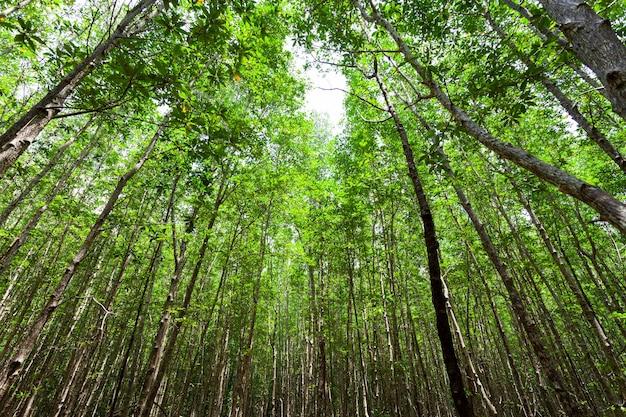 열대 우림 팡가 태국 자연과 환경 개념에 맹그로브 숲.