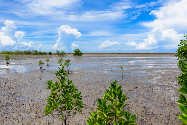 Mangrove forest at nature preserve and forestklaeng at prasae, rayong province, thailand (trees inc