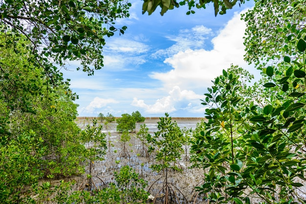 Mangrove forest at nature preserve and forestklaeng at prasae, rayong province, thailand