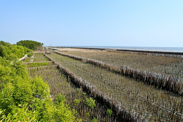 Mangrove forests in thailand