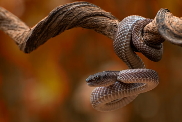 The mangrove pit viper on tree branch