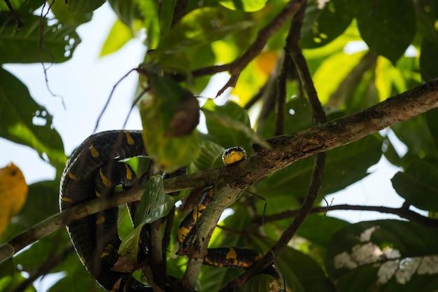 작은 아마존 또는 klong sang nae canal phang nga thailand의 나뭇가지에 있는 맹그로브 뱀