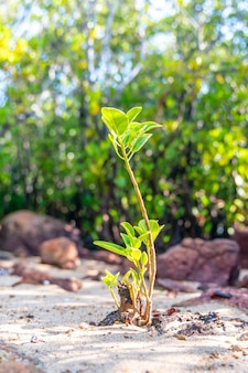Mangrove young sprout tree along the turquoise green salty water