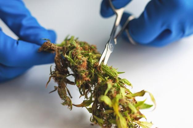매니큐어 대마초 새싹, 가위로 마리화나 잎을 다듬습니다.