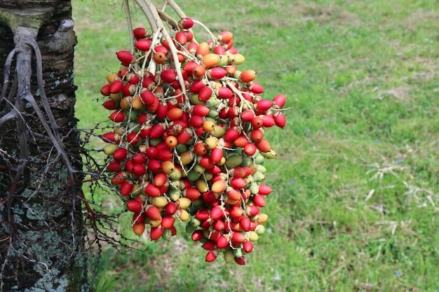 マニラヤシの生の種子、veitchiamerrillii。