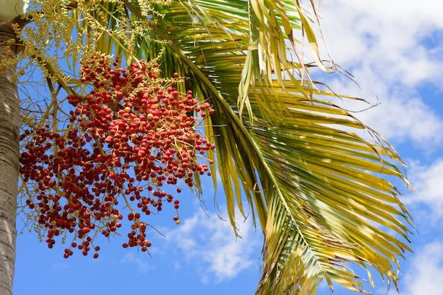 マニラヤシ。赤い熱帯の果実 - クリスマスパームのフルーツ。 Premium写真