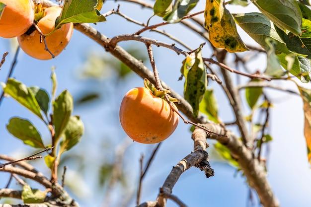 Manilkara kauki - растение подсемейства sapotoideae и трибы sapoteae семейства sapotaceae; и является типовым видом для рода manilkara. обычно известный под названием каки.