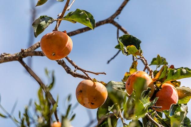 Manilkara kaukiは、アカテツ科の亜科の植物であり、アカテツ科のサワノキ族です。マニルカラ属のタイプ種です。一般的にcaquiという名前で知られています。