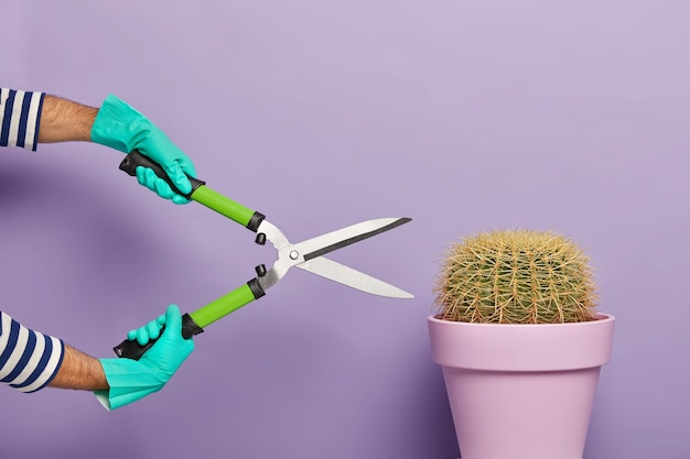 Mans hands holding clippers or gardening shears, cuts potted succulent cactus, wears rubber gloves, enjoys gardening at home, isolated over purple background. indoor plant care and pruning concept