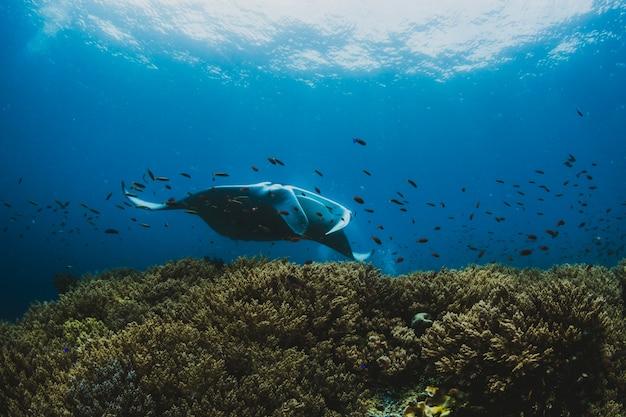 Портрет впечатляющего манта-луча (manta birostris) у тропика