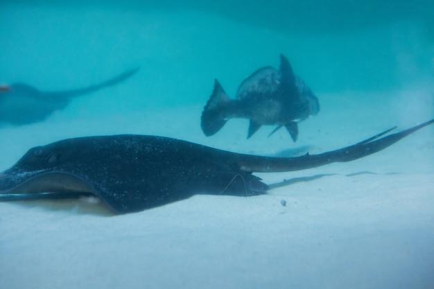 Manta ray плавание с рыбой
