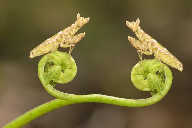 植物のカマキリ
