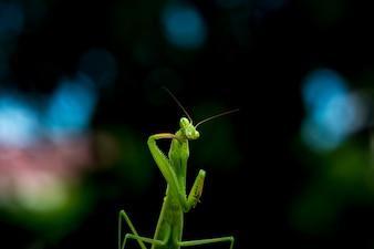 Mantis or Praying Mantis, smiling
