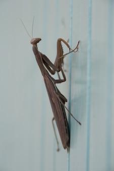 Насекомое религия mantis religiosa коричневый жуткий mantis