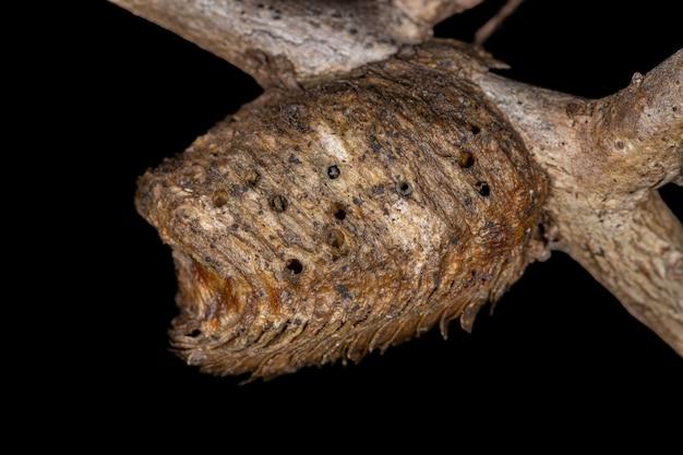 Mantises egg case of the order mantodea parasitized by parasitoid wasps