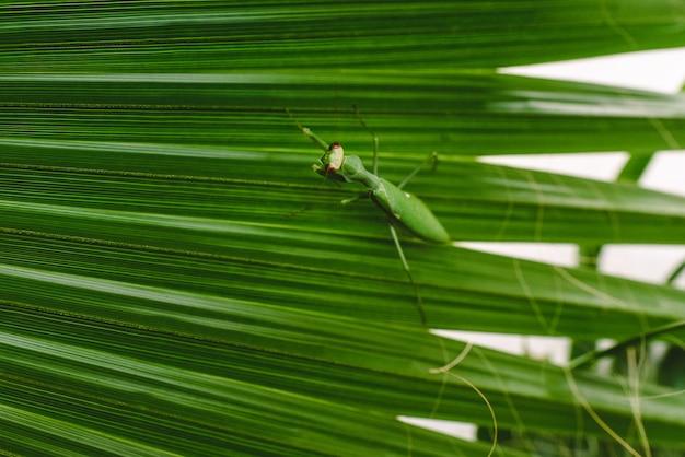 Mantodeaヤシの木の葉を歩いている虫を祈っています。