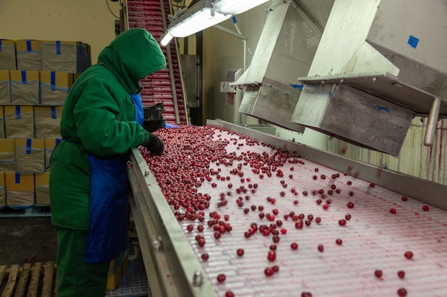 Ручная сортировка замороженной вишни на конвейере. рабочий в теплой форме в ягодном магазине.