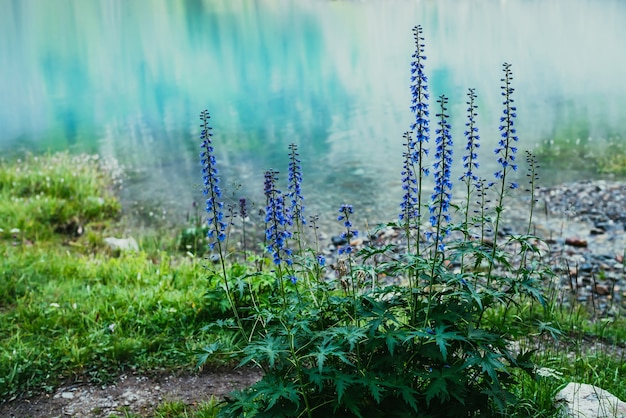 Larkspur의 많은 놀라운 푸른 꽃이 산 호수 기슭에서 자랍니다.