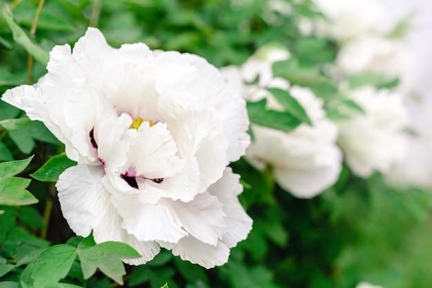 많은 아름다운 꽃이 피는 흰 모란, 봄에는 정원의 덤불에 흰 꽃이 있습니다. 꽃이 피는 동안 아름다운 나무 모란입니다. 뒤뜰 정원 가꾸기. 파이오니아 수프루티코사