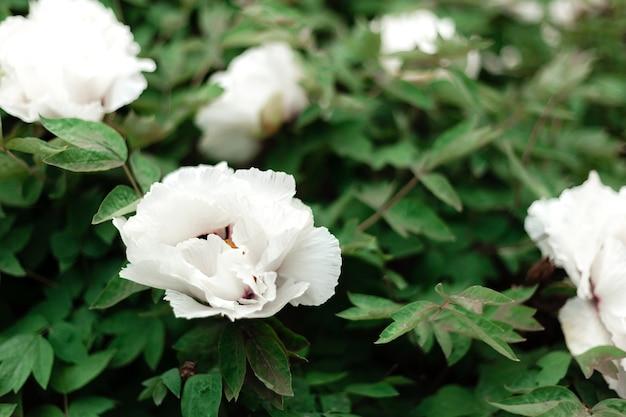 Многие красивые цветущие белые пионы, белые цветы на кустах в саду весной. красивый древовидный пион во время цветения. садоводство на заднем дворе. paeonia suffruticosa