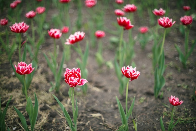 Many beautiful pink blossom tulips on green background.