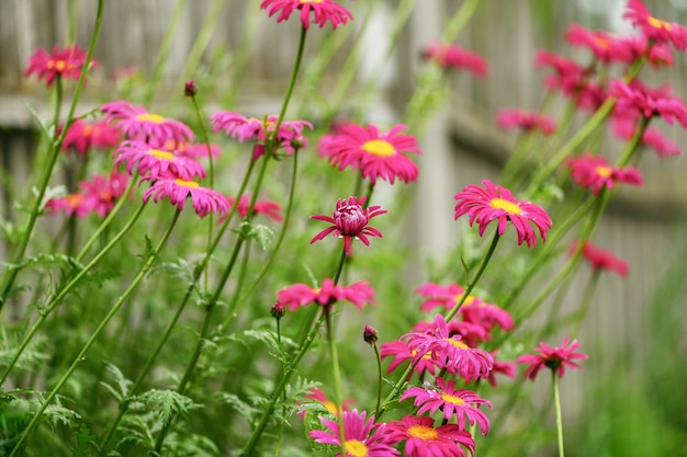 Many beautiful pink daisies - pyrethrum in the field after the rain.