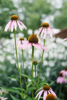 Many beautiful pink and purple echinacea flower blooms in the garden in summer