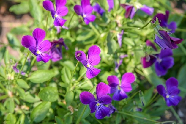 Множество красивых фиолетовых цветов в форме бабочки. выборочный фокус. на цветке сидит муха. фон зеленый.