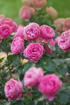 多くの美しいバラのラニーニャ。ぼやけたピンクのバラの背景にピンクのバラの花