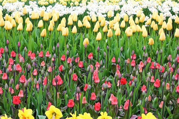 Many beautiful tulips at garden.