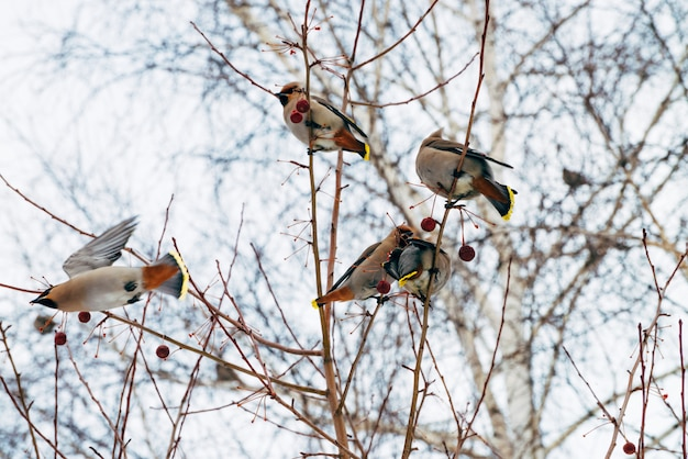 Many beautiful waxwings sits on brunch tree and eating berry. colorful migratory songbirds sing on sky .