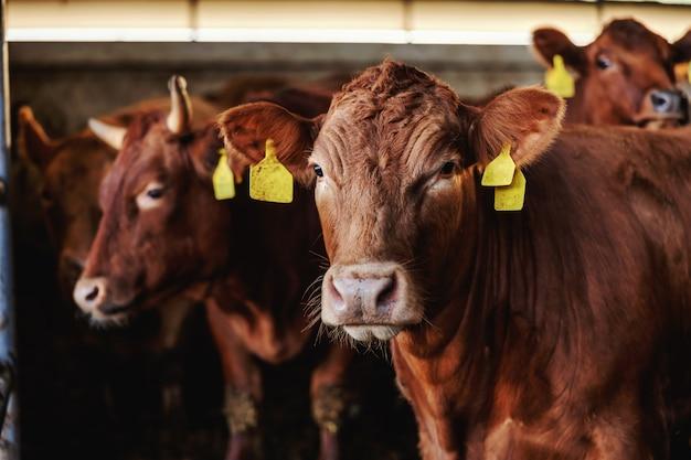 厩舎にたくさんの牛肉。有機農場での通常の日。