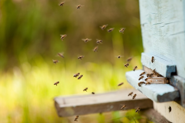 Many bees fly to the hive, beekeeping in the countryside.