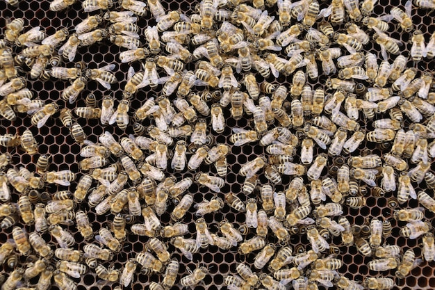 Многие пчелы в улье крупным планом