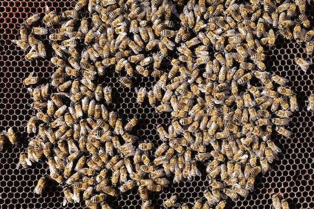 Многие пчелы на сотах крупным планом