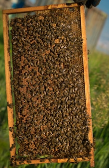 Many bees on a wooden frame with honeycombs.