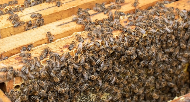 Many bees work on honeycombs. pack full cells of honey