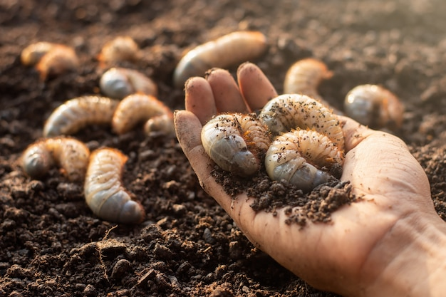 Many beetles in the hands of a farmer man, fertile soil.