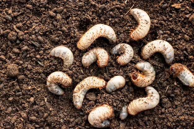 Many beetles on loose soil in cultured farms.