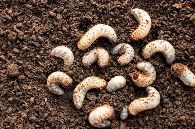 양식 농장의 느슨한 토양에 많은 딱정벌레.